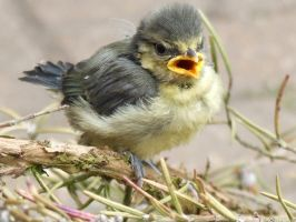 Baby Blue Tit by NicoleClements