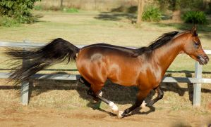 JA Arab Bay Gallop Side View by Chunga-Stock
