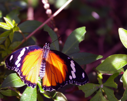 Butterfly by LadyChryse