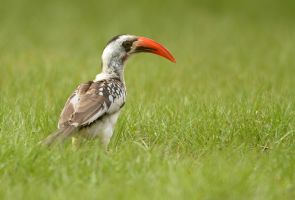 why the long face? - Red-billed Hornbill by Jamie-MacArthur