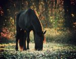 Friesian Mare Willow by LarissaAllen