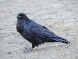 Raven playing in the sand by Mathayis