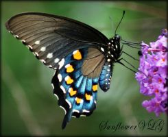 Pipevine Swallowtail by sunflowervlg