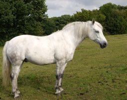 white horse stock 76 by HumbleBeez