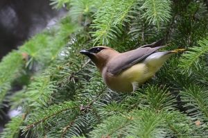 Young Cedar Waxwing by GuillaumGibault