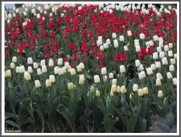 Red and white tulips by Iuliaq