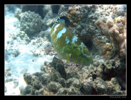 Blue-Barred Parrotfish by Keith-Killer