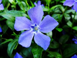 Little blue flower by Ranae490
