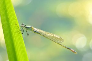 Damselfly by the water by Lydiie