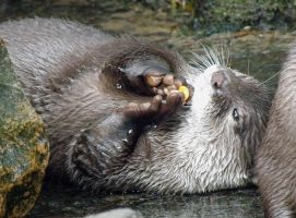 Asian Small-Clawed Otter III by lauratje86