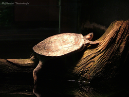 Brown roofed Turtle by Amethyst--Dragon