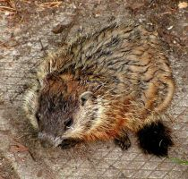 Baby groundhog lonely and wet by JocelyneR