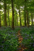 Garvagh Forest Bluebells VI by younghappy