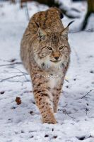 Lynx VIII by moem-photography