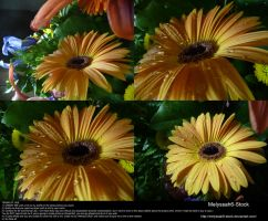 Yellow Daisy Stock 3 by Melyssah6-Stock