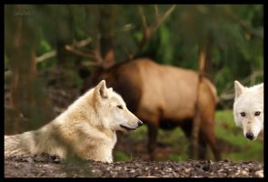 Gray Wolves 33 by HarbingerPhotography