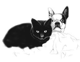 Cat and Boston Terrier by amberchrome