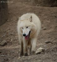arctic wolf 2 by Yair-Leibovich