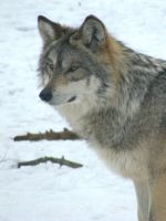 Mexican Wolf by Tailfeathrz