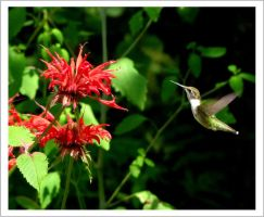hummingbird by bydandphotography