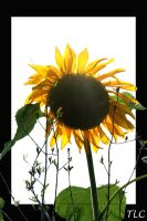 sunny flower by TlCphotography730