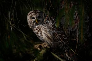 Barred Owl in Pine Tree 2 by MichaelsPhotography