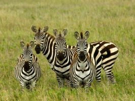 zebras at attention by pauleskew