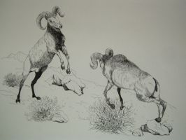 Sparring Rams by ruffian11