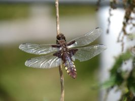Dragonfly by Belthazor1
