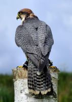 Lanner Falcon Portrait by AJKent