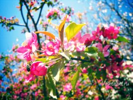 Blooming apple trees with bees by Mialogica