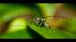 'It was that tall! no joke!' - Long Horned Beetle by ThanhDDanh