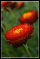 Red Blooming by delbarital