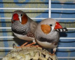 Zebra Finches by Roky320