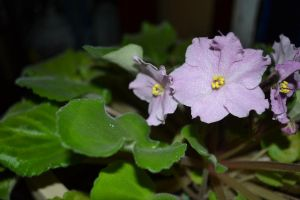 African Violet by TomKilbane