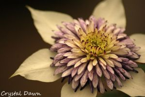White Clematis by poetcrystaldawn