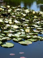 Lily pond by LearaStock