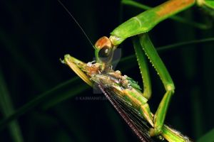 mantis by karman87