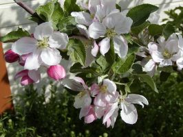 Spring Dawns Apple Blossom by Deaconess