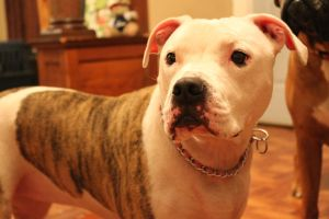 Adriane the Pit Bull by TaylorJustine
