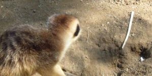 Meercat 10 by my-dog-corky