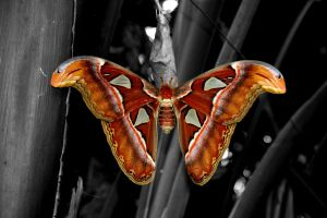 Atlas Moth by outspan4888