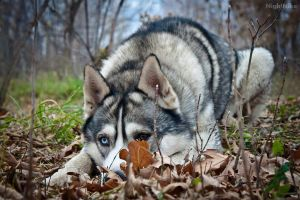 Mamelon Husky by NightNike
