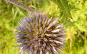thistle by Dreamplayer