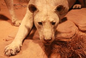Man-Eater of Tsavo by N3ffShark