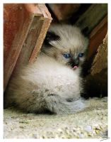 Siamese kitten 2 by floflo