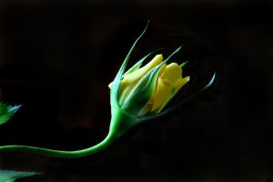 Yellow Rose 03 by s-kmp