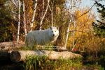 Wolf of the Autumn Forest by 8TwilightAngel8