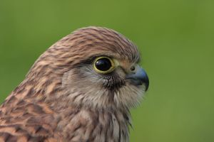 Kestrel by cycoze