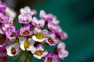 CANDYTUFT by Sandy33311